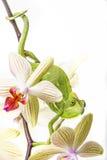 Caméléon sur une orchidée Image stock