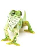 Caméléon vert Image stock