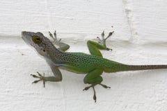Caméléon vert de l'Antigua sur un mur peint blanc Image libre de droits