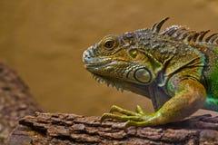 Caméléon vert et jaune dans le zoo Photos libres de droits