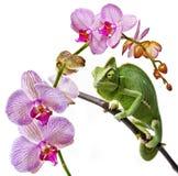 Caméléon vert et orchidée rose Photos stock