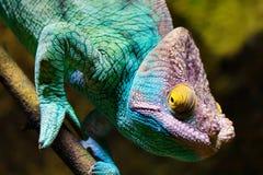 Caméléon, vision stéréoscopique, bleu de turquoise et pourpre image stock