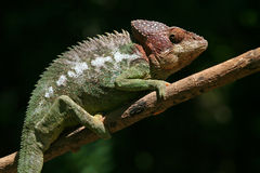 Caméléon warty sauvage, Madagascar photographie stock libre de droits