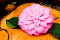 Camélia Photographie stock libre de droits