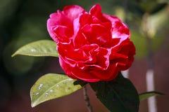 camélia Image libre de droits