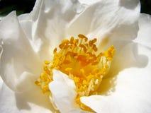 Camélia blanc Photos libres de droits