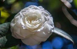 Camélia blanc Photo libre de droits