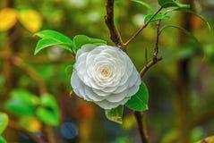 Camélia blanc coloré dans l'arborétum de Sotchi La RUSSIE, SOTCHI, le 1er mai 2015 Photo stock