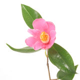 Camélia cor-de-rosa Fotografia de Stock Royalty Free
