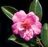 Camélia cor-de-rosa Imagem de Stock