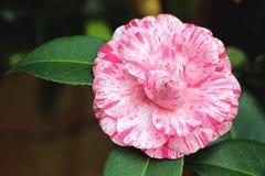 Camélia cor-de-rosa Foto de Stock Royalty Free