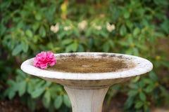 Camélia cor-de-rosa podre no banho dos pássaros, fonte, close up Imagem de Stock