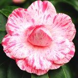 Camélia grande da flor Imagens de Stock