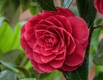 Camélia Japonica Imagens de Stock Royalty Free
