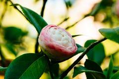 Camélia - perfeição cor-de-rosa Fotografia de Stock Royalty Free