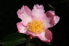 Camélia rose Photo stock