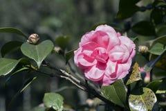 Camélia rose sous le soleil de fin de l'après-midi Image stock