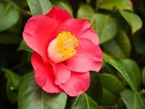 Camélia rouge fleurissant Photographie stock libre de droits
