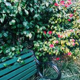 Camélia rouge par un banc photographie stock libre de droits