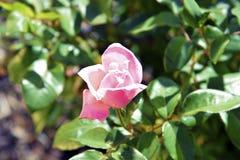 Camélias en fleur Photo stock