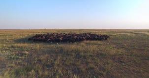 Caméra se déplaçant en avant au-dessus du troupeau des moutons noirs et blancs en steppe ukrainienne au coucher du soleil banque de vidéos