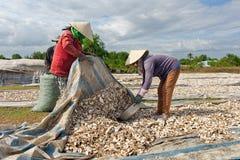 CAM RANH,越南- 2017年4月01日:农夫收获白薯 免版税库存照片