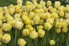Cama amarela das tulipas Fotos de Stock Royalty Free