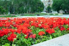 Cama com as flores vermelhas no parque Imagens de Stock Royalty Free