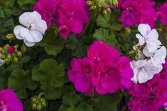 Cama com cores carmesins e brancas outono que floresce na cidade fotos de stock royalty free