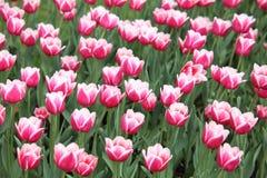 Cama com tulips cor-de-rosa-brancos Imagens de Stock Royalty Free