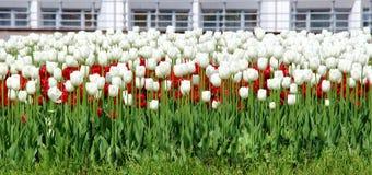 Cama con los tulipanes rojo-blancos Foto de archivo libre de regalías