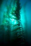 Cama da alga Fotografia de Stock Royalty Free