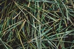 Cama de agulhas de desvanecimento velhas do pinho fotografia de stock royalty free