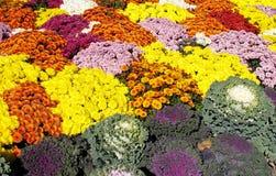 Cama de crisantemos y de la col rizada Fotos de archivo