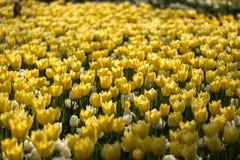 Cama de flor amarela da tulipa Imagem de Stock Royalty Free