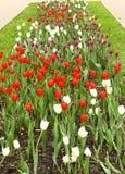 Cama de flor ancha larga de los tulipanes blancos rojos Imagen de archivo