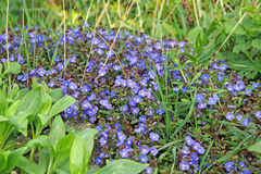 Cama de flor azul consideravelmente pequena Fotografia de Stock Royalty Free