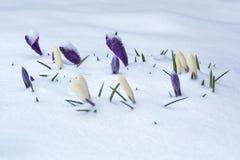 Cama de flor blanca y púrpura del azafrán cubierta con nieve Fotos de archivo libres de regalías