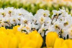 Cama de flor branca do narciso amarelo no parque em Keukenhof Imagens de Stock Royalty Free