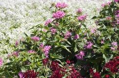 Cama de flor branca, vermelha e cor-de-rosa Fotos de Stock Royalty Free