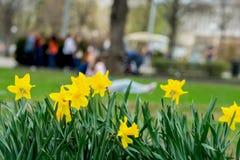 A cama de flor com as flores do narciso amarelo amarelo, Narcissuses floresce a florescência na mola e em jovens irreconhecíveis  Foto de Stock Royalty Free