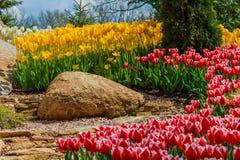 cama de flor com as tulipas vermelhas, amarelas e brancas Fotos de Stock Royalty Free