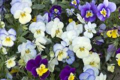 Cama de flor com branco, os pansies azuis e roxos da luz - Fotografia de Stock
