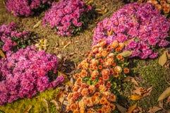 Cama de flor com crisântemo dos arbustos Fotos de Stock Royalty Free