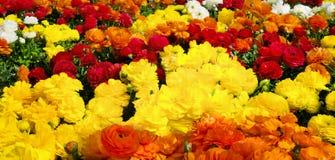 Cama de flor com fileiras de cores vibrantes Imagens de Stock Royalty Free
