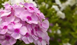 Cama de flor com flox das flores fotos de stock