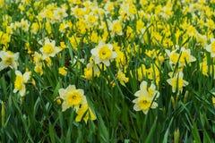 A cama de flor com muitas flores do narciso amarelo amarelo, Narcissuses floresce a florescência na primavera Fundo moderno Foto de Stock Royalty Free