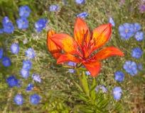 Cama de flor com o lírio azul de linho e de açafrão Fotos de Stock