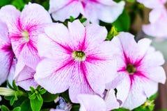 Cama de flor con las flores rosadas de la correhuela Foto de archivo libre de regalías