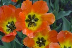 Cama de flor con los tulipanes multicolores brillantes grandes encendidos por el sol foto de archivo libre de regalías
